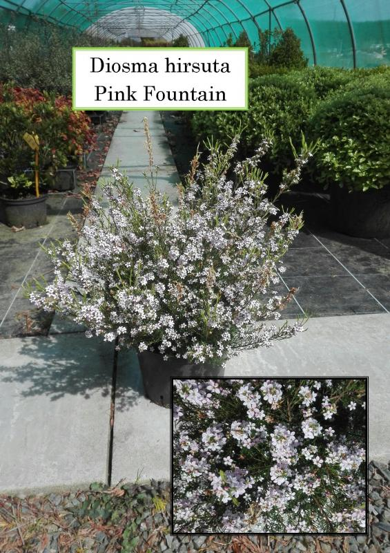 Diosma hirsuta Pink Fountain