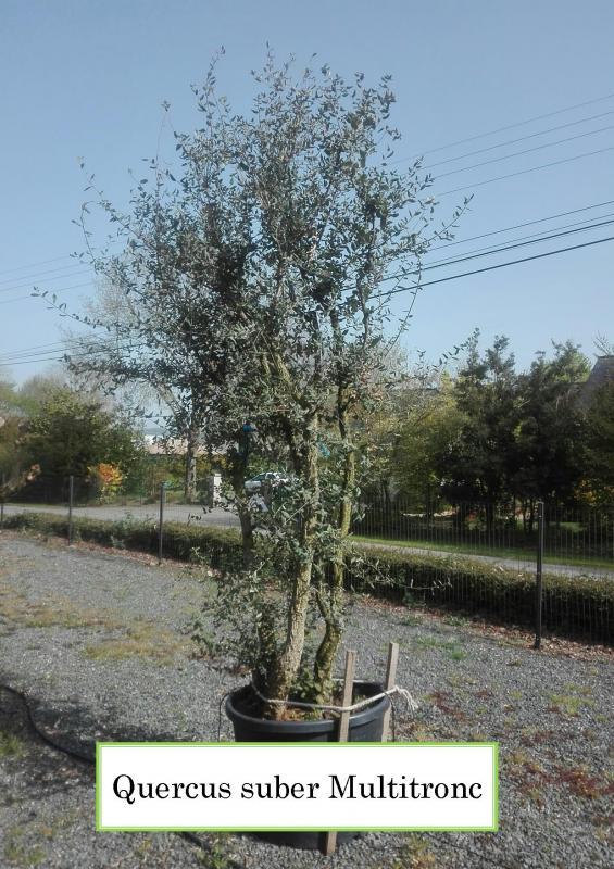 Quercus suber Multitronc