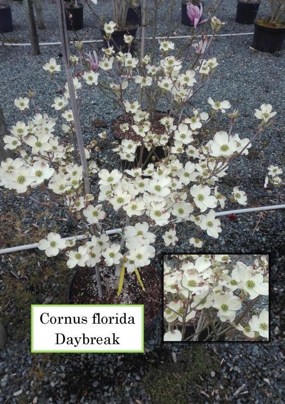Cornus florida Daybreak