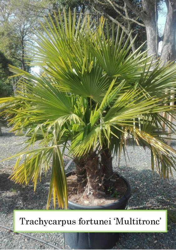 Trachycarpus fortunei Multitronc