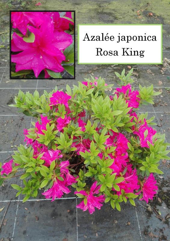 Azalée japonaise Rosa King