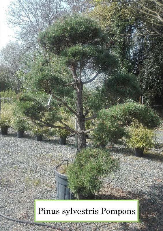 Pinus sylvestris Pompons