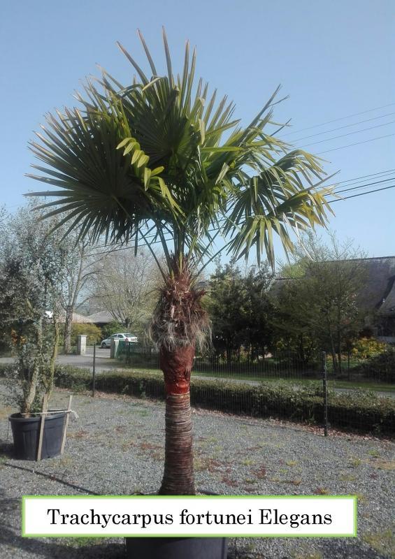 Trachycarpus fortunei Elegans