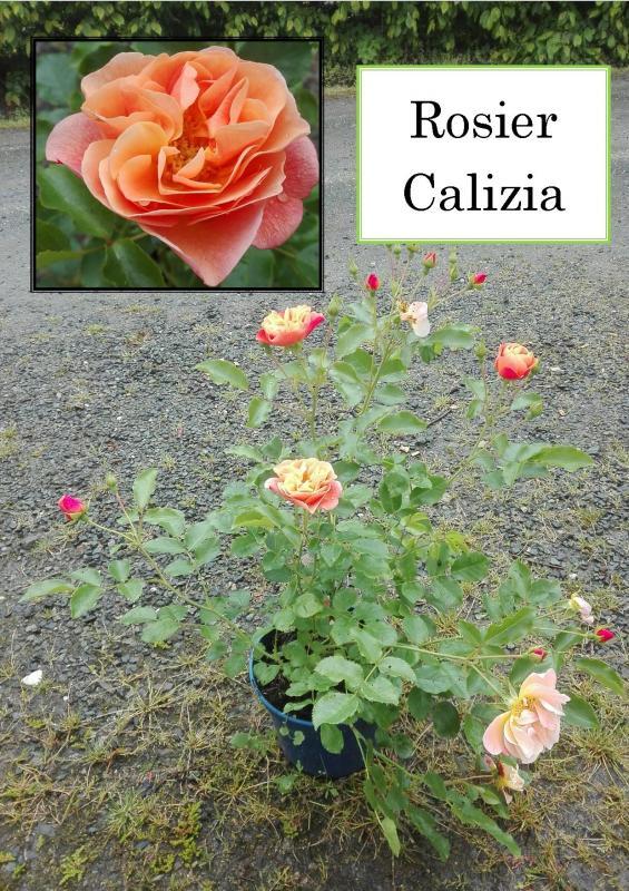 Rosier Calizia