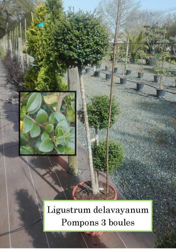 Ligustrum delavayanum Pompons 3 boules