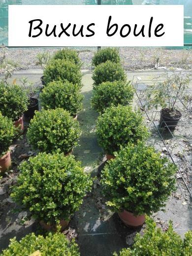 Buxus boule
