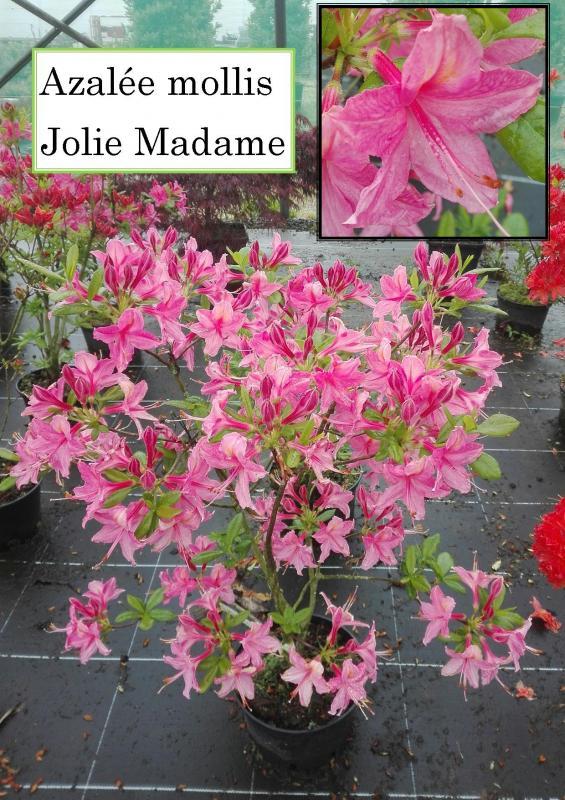 Azalée mollis Jolie Madame