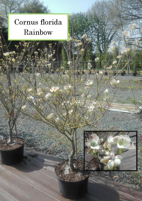 Cornus florida Rainbow
