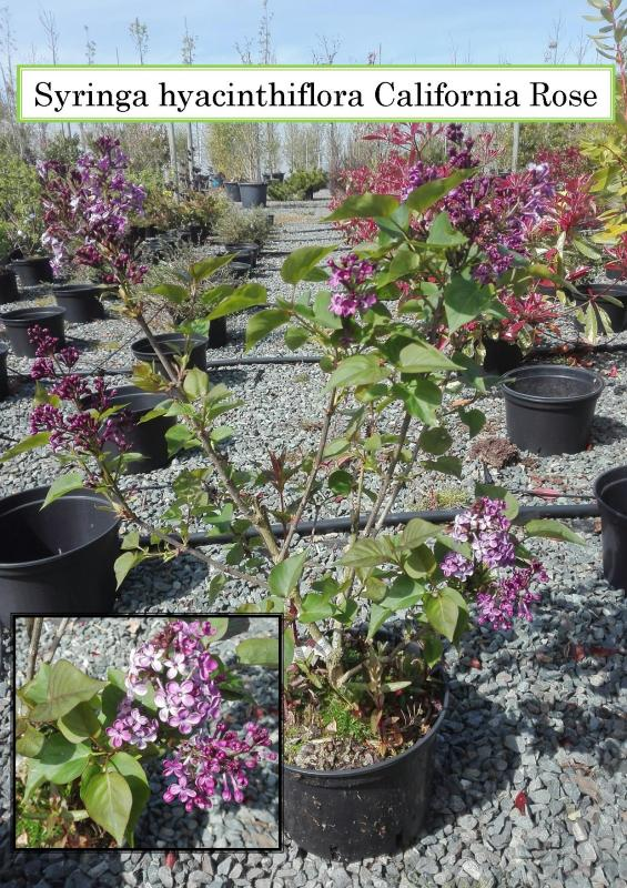Syringa hyacinthiflora California Rose
